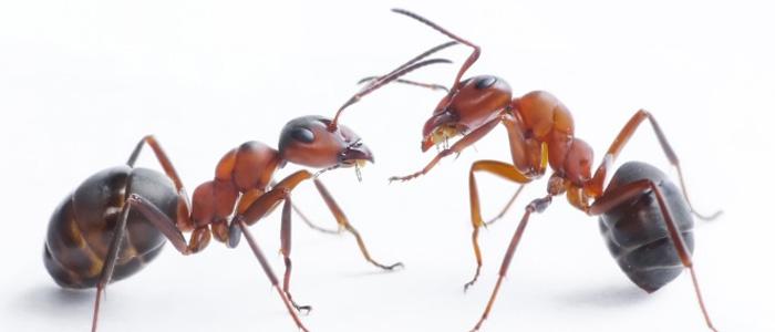 Ant Control Golden Grove