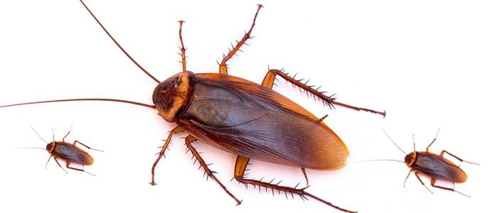 Cockroach Control Golden Grove